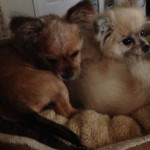 Denise's Dogs - Babie Gurl and Babie Bella